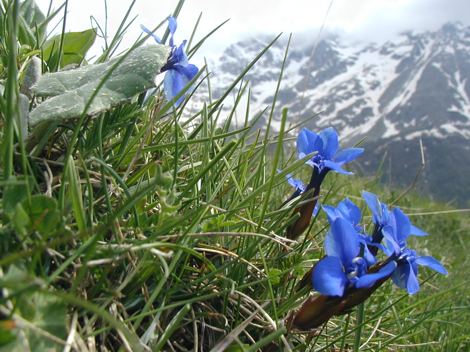 blue gentian flowers above vallouise
